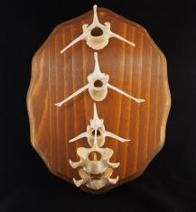 "Antelope vertebrae from the mountains of New Mexico. 9""x12"" x .75"" thick pine panel plaque. Hand stained in Colonial Pine and varnished in semi gloss."
