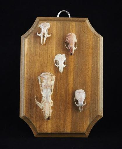 """Five imperfect rodent skulls (hamster, mice and rat). They have been left out for mother nature to clean and then fed to beetles. Approximately 5"""" x 3.5"""" x 1/4"""" thick pine panel. Hand stained in Colonial Pine and varnished in semi gloss."""