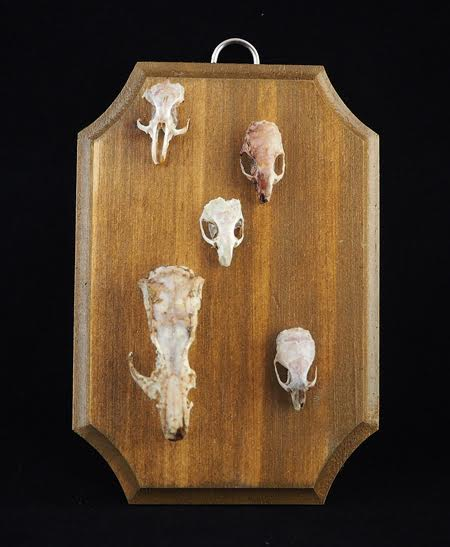 "Five imperfect rodent skulls (hamster, mice and rat). They have been left out for mother nature to clean and then fed to beetles. Approximately 5"" x 3.5"" x 1/4"" thick pine panel. Hand stained in Colonial Pine and varnished in semi gloss."